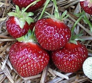 Polka Hz Beerenobstkultur Und Erdbeerpflanzenvermehrung Klaus Möse